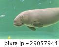 ジュゴン 29057944