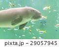 ジュゴン 29057945