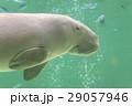 ジュゴン 29057946