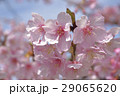 カワヅザクラ 河津桜 29065620