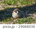 スズメ すずめ 小鳥の写真 29066036