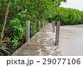 マングローブ 海漂林 森林の写真 29077106