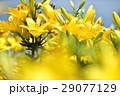 花 ゆり ユリの写真 29077129