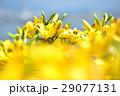 花 ゆり ユリの写真 29077131