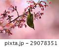 メジロとオカメザクラ 29078351