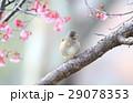 シロハラ雄とオカメザクラ 29078353