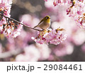 河津桜 桜 メジロの写真 29084461