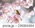 河津桜 桜 メジロの写真 29084464