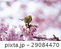 河津桜 桜 メジロの写真 29084470
