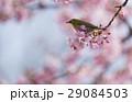 河津桜 桜 メジロの写真 29084503