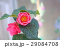 ベトナム系ツバキの花 ハイドゥンツバキ 29084708