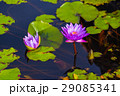 Lotus lilly flower 29085341