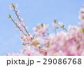 河津桜と青空 29086768