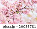 河津桜 29086781