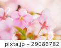 河津桜 29086782