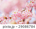 河津桜 29086784