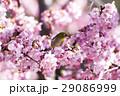 河津桜 桜 メジロの写真 29086999