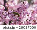 河津桜 桜 メジロの写真 29087000