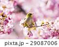 河津桜 桜 メジロの写真 29087006