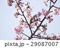 河津桜 桜 メジロの写真 29087007