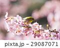 河津桜とメジロ 29087071