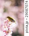 河津桜とメジロ 29087074