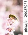 河津桜 桜 メジロの写真 29087075