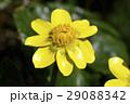 ヒメリュウキンカ(姫立金花) 29088342