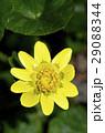 ヒメリュウキンカ(姫立金花) 29088344