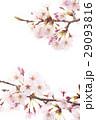 桜の素材 29093816