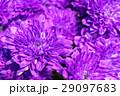パープル 紫 紫色の写真 29097683