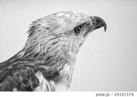 Portrait of beauty hawk ,Changeable Hawk Eagle 29101578