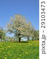 cherry blossom 29103473
