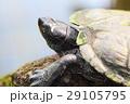 動物 かめ カメの写真 29105795