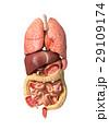 人体 解剖学 医療のイラスト 29109174