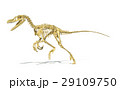 Velociraptor dinosaur, full skeleton scientifically correct, perspective view, with drop shadow on white background. 29109750