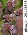 自然 植物 ヒメオドリコソウ、近づいて見てみると『踊り子』というよりモンスターのようにも見えます 29113626