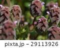 自然 植物 ヒメオドリコソウ、春になるとあちこちで見かけますが元はヨーロッパ原産の外来種だそうです 29113926