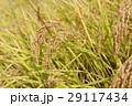 田んぼ 稲 水稲の写真 29117434