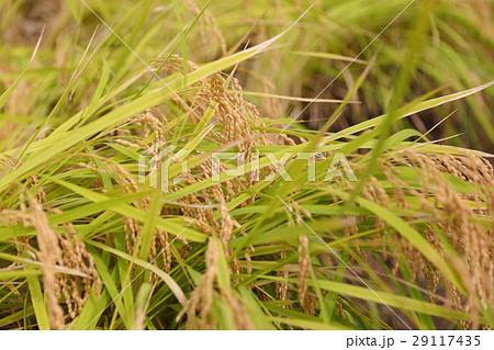 稲刈り前の稲・田んぼ 29117435