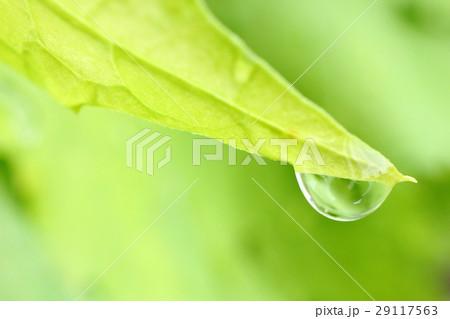 ゴーヤの葉に付いた水滴 29117563
