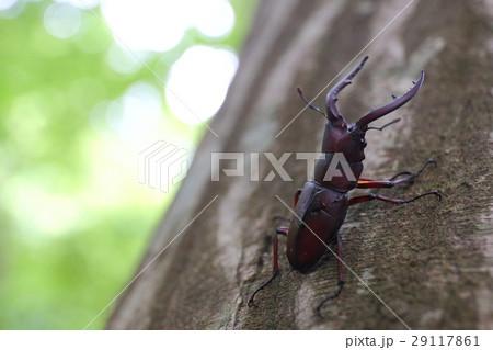 木に止まるノコギリクワガタ 29117861