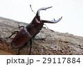 クワガタ ノコギリクワガタ クワガタムシの写真 29117884