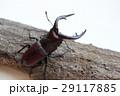 クワガタ ノコギリクワガタ クワガタムシの写真 29117885