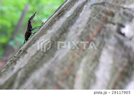 木に止まるノコギリクワガタ 29117905
