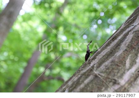 木に止まるノコギリクワガタ 29117907