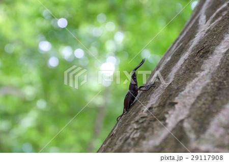 木に止まるノコギリクワガタ 29117908
