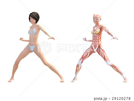 女性 解剖 筋肉 3DCG イラスト素材 29120278