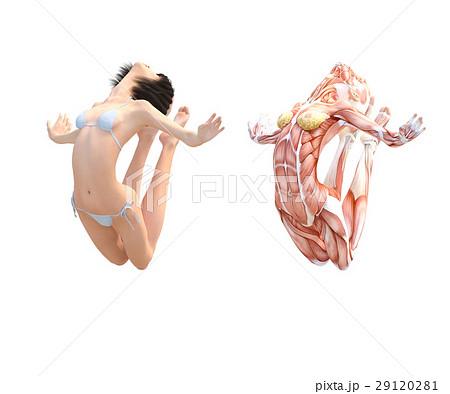 女性 解剖 筋肉 3DCG イラスト素材 29120281