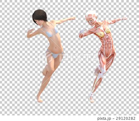 女性 解剖 筋肉 3DCG イラスト素材 29120282